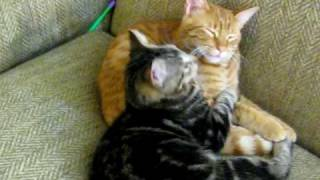 lovely cats cuddling and kissing