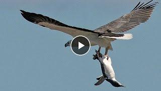 Птицы едят животных и друг друга. Клондайк тв