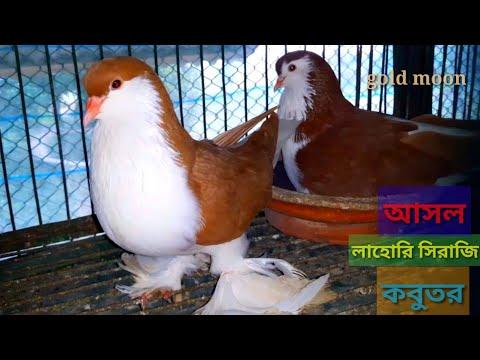 আসল লাহোরি সিরাজি কবুতর | The Real Lahore Siraji Pigeon | Fancy Pigeon