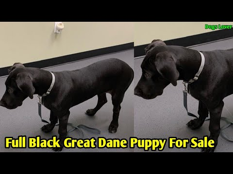 Full Black Great Dane Puppy Available For Sale 🐶   Great Dane Puppy For Sale
