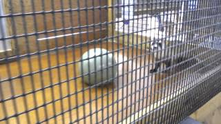 Black-footed ferret enrichment pt. 2.