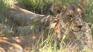 Lwy  -   dziki świat Afryki ,,Safari