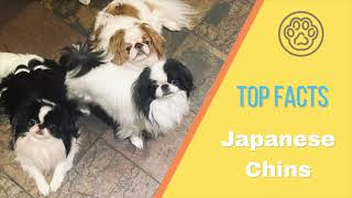 Top Facts  Japanese Chin Dog