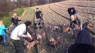 101 Weimaraner Hunde Dogs  Kurzhaar Short-haired, Langhaar Long Hair, Blaue Blue Weimaraner