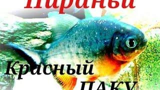 Пираньи.Аквариумные Рыбки.Красный паку.