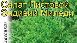 Салат листовой Эндивий Миледи. Краткий обзор, описание характеристик lactuca sativa
