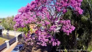 Lapachos en flor, Ciudad de puerto Rico, Misiones, Argentina