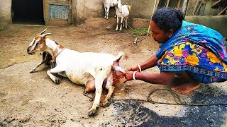 "Goat Giving Birth To Baby Goat. Amazing Village Goat Giving ""BIRTH"""