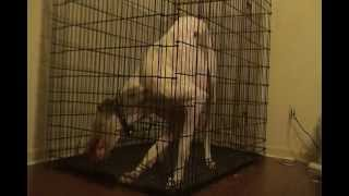 Great Dane Opens Crate And Escapes