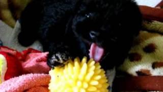 Sznaucer Miniaturka Miniature Schnauzer Puppy