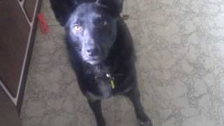Australian Kelpie Dog Says Hello
