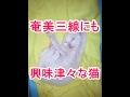 奄美三線にも興味津々(ФωФ)な猫