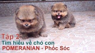 T2: Chó con Pomeranian - Phốc Sóc /Chó đẹp/NhamTuatTV-Dog in Vietnam