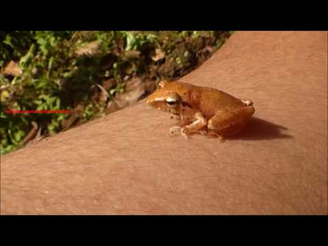 Little brown frog found in South India