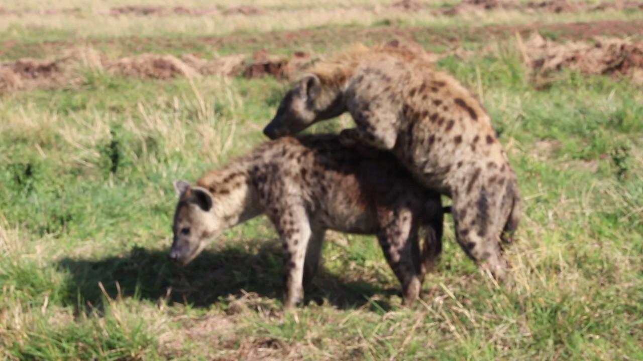 Hyena mating youtube