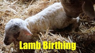 Lambs Being Born