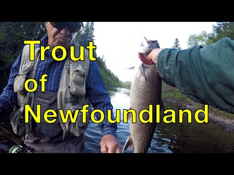 Trout Of Newfoundland