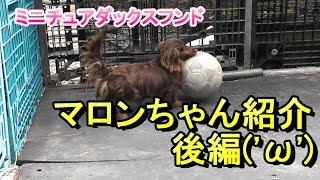 【ミニチュアダックス】ドッグハウスのマロンちゃん紹介後編