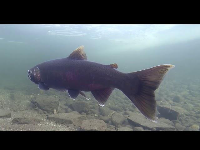 Salmon Show Reel
