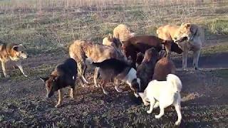 Нора сурка и собаки