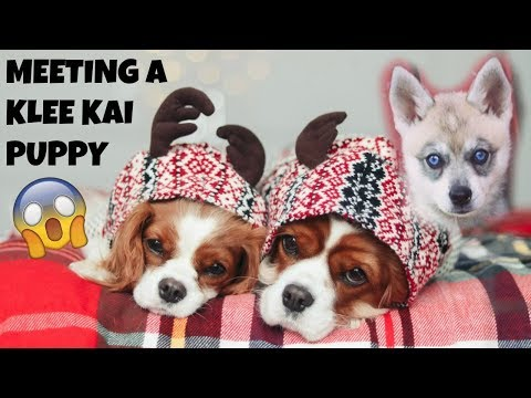MEETING A KLEE KAI PUPPY | Cavalier King Charles Dogs