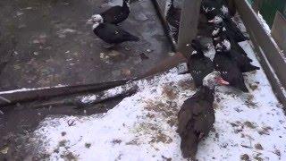 Содержание мускусной утки на улице.