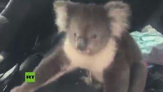 Un koala entra en un auto con aire acondicionado para escapar del calor