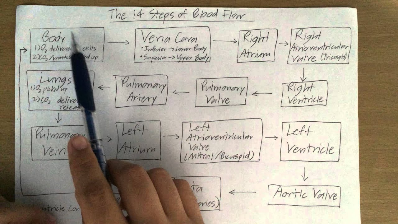 The 14 Steps of Blood Flow - YouTube