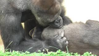 シャバーニ、キヨマサ、アニー、アイ、ネネ 達の 大騒動 2 Gorilla's funny actions and gestures Annie Kiyomasa Shabani Ai Nene