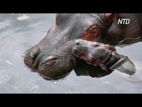 Мексиканский зоопарк показал новорождённого бегемота