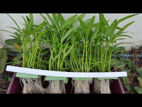 ปลูกผักไร้ดิน ตอนเเพาะผักบุ้ง(Step1)