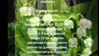 Многолетние цветы для сада Ландыш майский