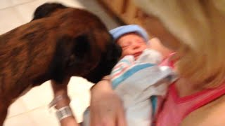 Brock The Boxer Dog:  Meets His New Baby Brother For The First Time!