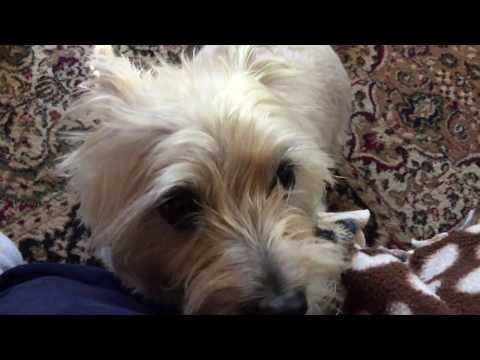 A quick word about owning Cairn terriers