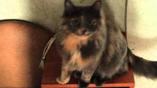 мяуканье с наложением звука.mov домашняя кошка Пуша