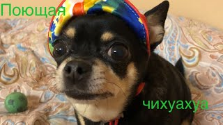 Поющая собака ~ Чихуахуа / Singing dog ~ Chihuahua Margo