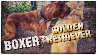 Dog fight. Golden Retriever VS Boxer dog