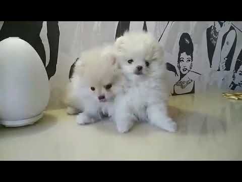 boo dog breed for sale