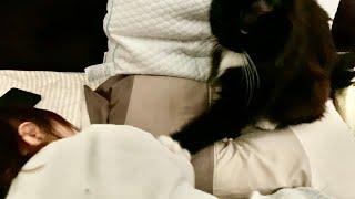 まるでお母さんのように優しくトントンさせて娘を起こす猫 ラガマフィン A cat that gently wakes up the owner's daughter