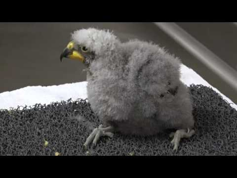Denver Zoo welcomes first successful kea chick hatchling