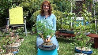 Выбор растений для бонсай (ч.1).