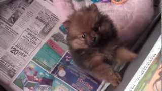 Teddy Bear Pomeranian Puppy  For Sale In Houston Texas - Dog Named Boo