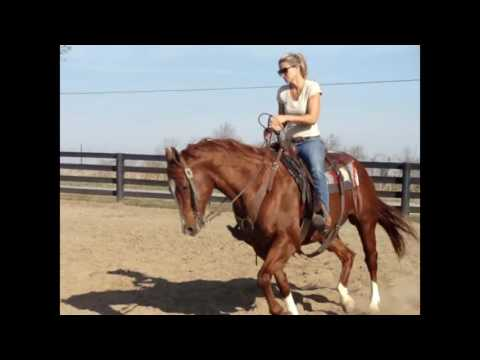 GORGEOUS SORREL QUARTER HORSE GELDING, RIDES AROUND NICE