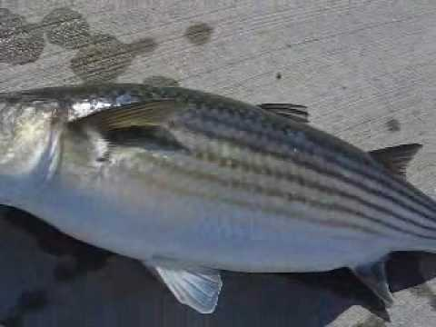 Multefiskeri mullet fishing 7 lb youtube for Pictures of mullet fish