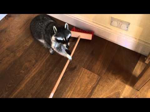 Melanie Raccoon sweeping the floor
