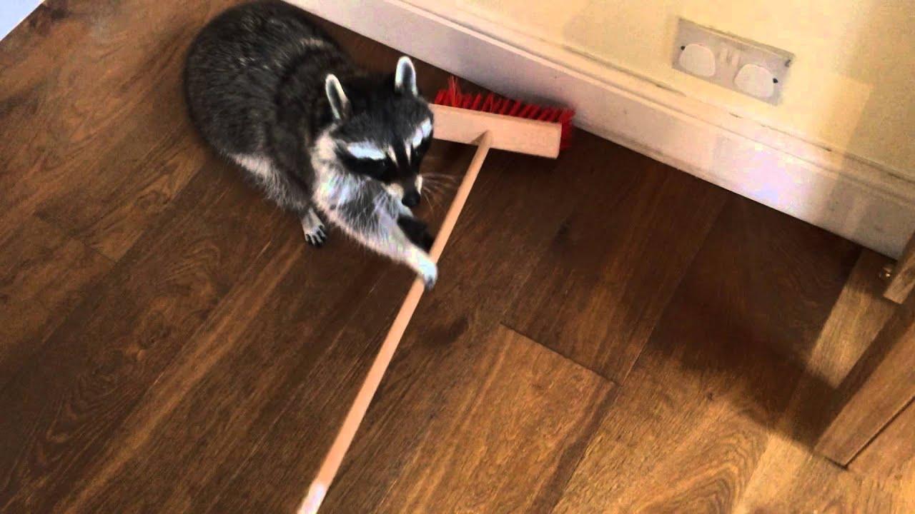 Melanie Raccoon sweepi...R Is For Raccoon