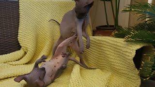 Sphynx Kittens BattleHERKUS vs HELLA ▫ Don Sphynx
