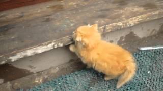 Рыженький котенок:)))