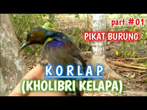 Pikat Burung Kolibri Kelapa | Korlap
