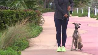 A Whippet completely surprises his trainer  by being off leash next to busy streets!?